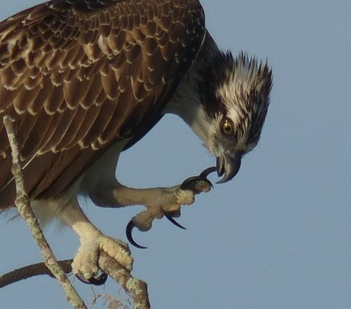 Check out that osprey's claws