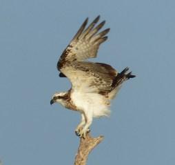 Osprey profile