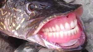 poisson dentier