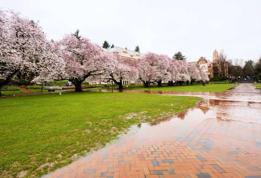 2018-03-23 UW Cherry Blossoms 11-29-00