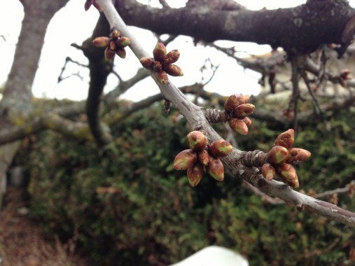 Samedi 6 avril : premiers bourgeons