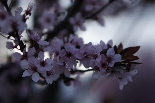 Vendredi 12 avril : cerisier en fleurs