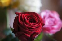 Dimanche 21 avril : une rose de Madame MaChérie