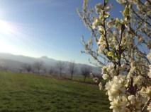 Dimanche 16 mars : la chaîne des volcans d'Auvergne et arbres en fleur au dessus de la maison