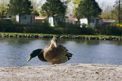 Mercredi 2 avril : des canards à Vichy