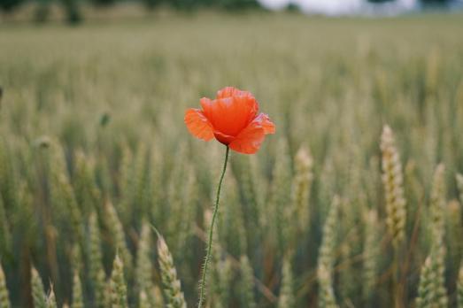 Samedi 6 juin 2015 : coquelicot dans un champ de blé
