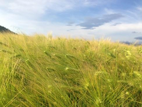 Champs de blé au petit matin
