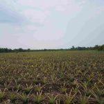Nenas Moris Kampung Tanjung Kuras, Terbaik di Riau