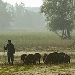 Schweinehirt mit Schweinen
