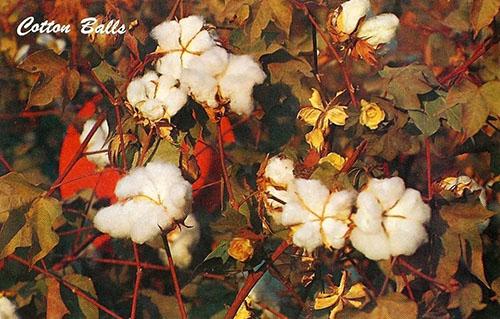 AK: Baumwollpflanzen