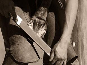 s/w Foto: Hufschmied beim Ebnen des Hufes mit der Raspel
