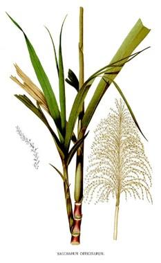 Zuckerrohr, Zucker, Zuckerrohranbau