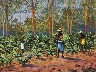Tabakfarm, Tabakernte, Tabalbauern, Tabakanbau, Tabakpflanzen