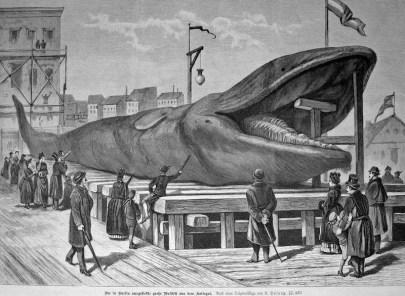 Walfänger, Wale, Walfang, Walfisch