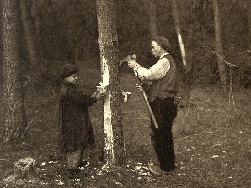 altes sw-Foto: Mann schlägt mit Beil Rinde von Kiefernstamm und Laufrinnen hinein, unterhalb davon sind Gefäße zum Auffangen von Harz befestigt. ein Junge hilft