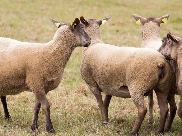 Foto: markierte Schafe