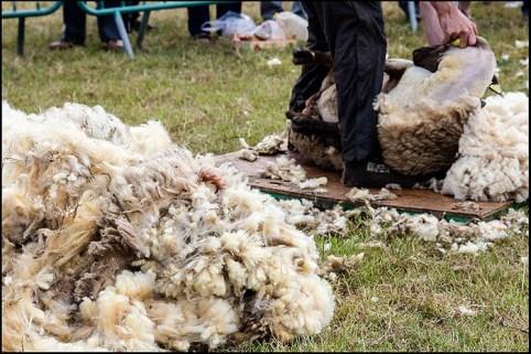 Foto: ein Schaf wird geschoren