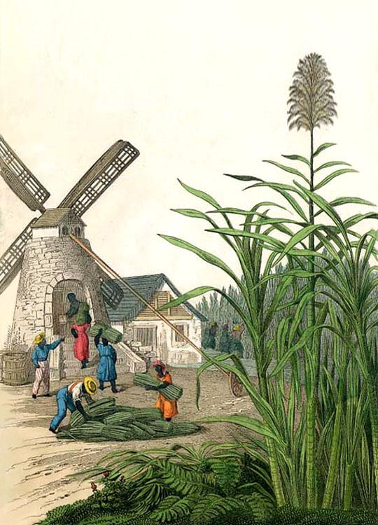 Zuckerhersteller, Zuckerrohr, Zuckerrohrmühle, Windmühle, Landwirtschaft, Amerika