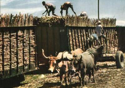 Zuckerrohr, Ochsengespann, Landwirtschaft, Haiti