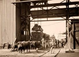 sw-Foto: Zuckerrohr wird mittels einer Hebevorrichtung an einer Mühle von Ochsenkarren entladen