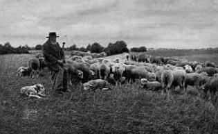 altes sw-Foto: Schäfer hütet Schafe in der Heide