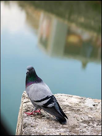 Farbfoto: Taube sitzt im Vordergrund auf einem Steinvorsprung, dahinter ein Fluss
