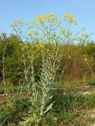 Farbfoto: Färberwaidpflanze mit gelben Blütenauf einer Wiese