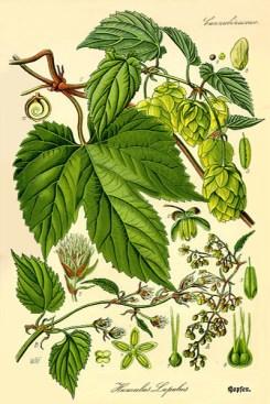 Farblitho: botanische illu 'Humulus lupulus'