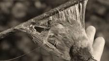sw Foto: mit Leimrute gefangener Vogel