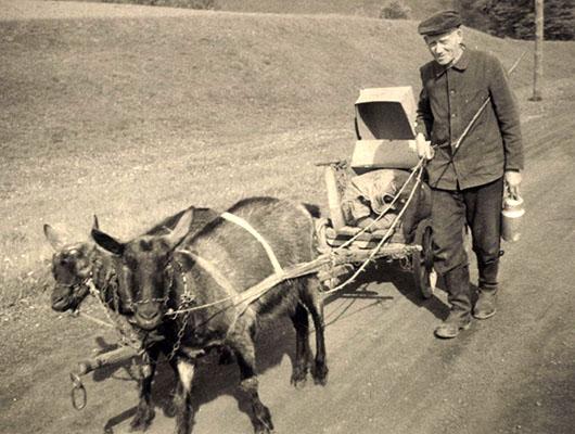 sw Foto: Bauer führt Karren ziehende Ziegen an der Leine - 1920