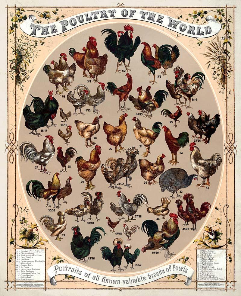 Farblitho: Übersicht über bekannte Hühnervögel - 1868, USA