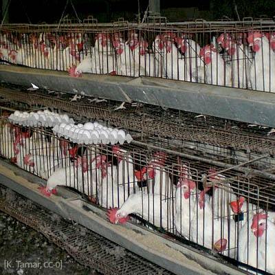 Farbfoto: Hühner in einer Legebatterie - 2006