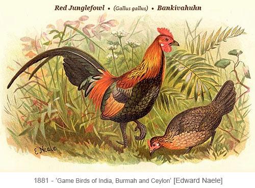 Farblitho: wildes asiatisches Bankivahuhnpaar - 1881