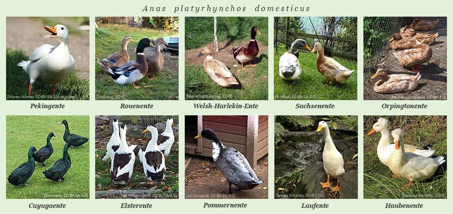 Farbfotos: diverse Arten von Hausenten