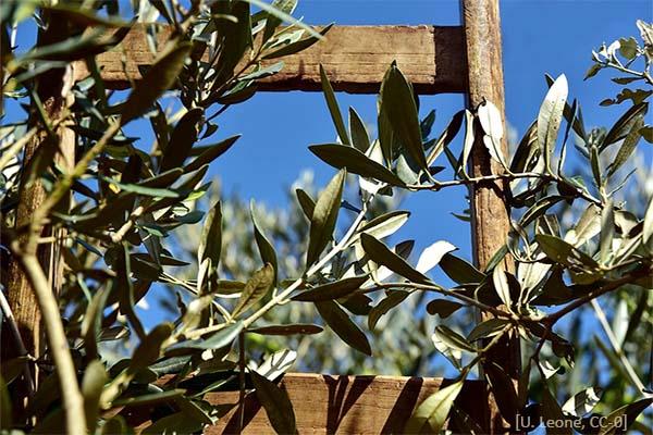 Farbfoto: obere Sprossen einer Holzleiter im Olivenbaum - 2018, Italien