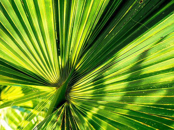 Foto: grünes gefächertes Palmenblatt
