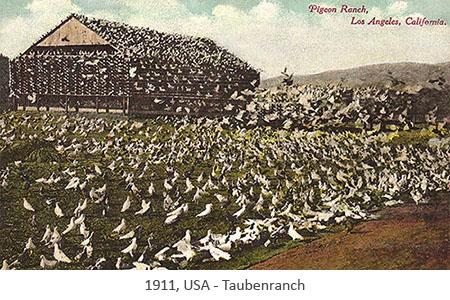 Postkarte: riesiges Taubenhaus auf Taubenranch und unzählige Tauben - 1911, USA
