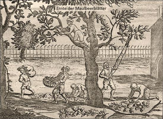 Kupferstich: Ernte der Maulbeerblätter - 1695