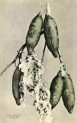 koloriertes Foto: Baumwollpflanze