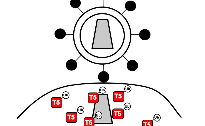 HIV restriction factor trim5 immunoproteasome