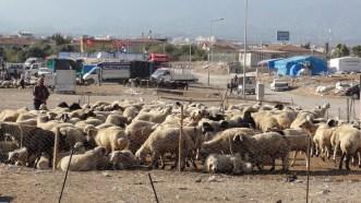 sheep awaiting sacrifice