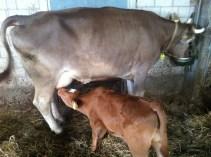 Mutterkuhhaltung