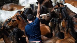"An ""Aloitadore"" struggles with a wild horse during the ""Rapa Das Bestas"" (Shearing of the Beasts) traditional event in the Spanish northwestern village of Sabucedo, some 40 kilometers from Santiago de Compostela, northwestern Spain, on July 3, 2016, during the 400-year-old horse festival called ""Rapa das bestas"" (Shearing of the Beasts).  Hundreds of wild horses are rounded up from the mountains to be trimmed and marked. / AFP / MIGUEL RIOPA        (Photo credit should read MIGUEL RIOPA/AFP/Getty Images)"