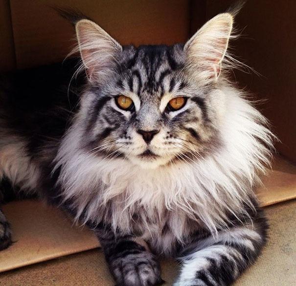 """قطط """"ماين كون""""، الملوك في عالم القطط"""