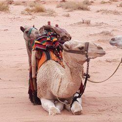 Camel in the middle of the desert in Wadi rum, Jordan