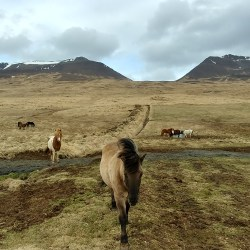 Brown icelandic horse in the countryside of Iceland