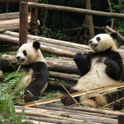 Panda bears from China