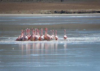 Beautiful Flamingos in Uyuni, Bolivia