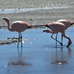 Beautiful Flamingos in Uyuni, Bolivia