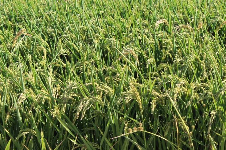 Rice fields in Albufera de Valencia